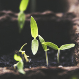 sqr-seedling